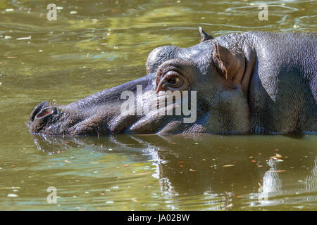 Image of a large mammal of a wild animal, hippopotamus in water - Stock Photo