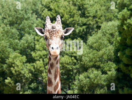 Portrait of a giraffe looking directly at viewers. Tall green leafy trees in the background. - Stock Photo