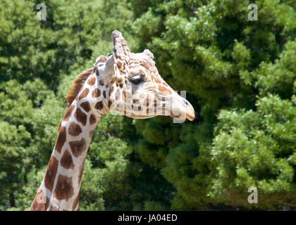 Portrait of a giraffe looking to viewers right. Tall green leafy trees in the background. - Stock Photo