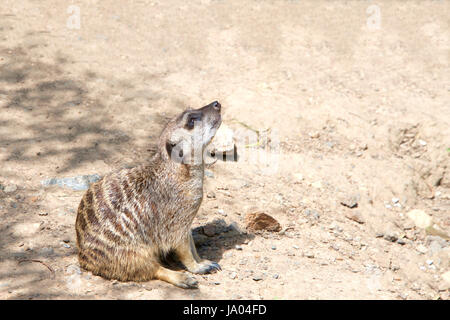 One Meerkat or suricate (Suricata suricatta), sitting on the ground in a curious position looking up to viewers - Stock Photo