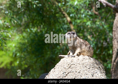 One Meerkat or suricate (Suricata suricatta), sitting on a rocky hill top looking out for danger. Looking towards - Stock Photo
