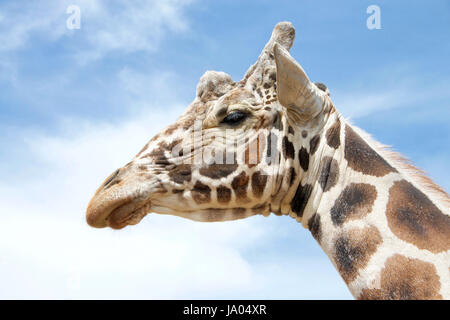 Portrait of one giraffe, the tallest living terrestrial animals and the largest ruminants. with blue cloudy sky - Stock Photo