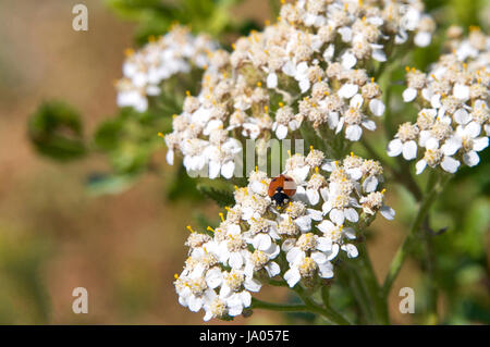 One lady bug (Coccinellidae) on Daucus carota, whose common names include wild carrot, bird's nest, bishop's lace, - Stock Photo