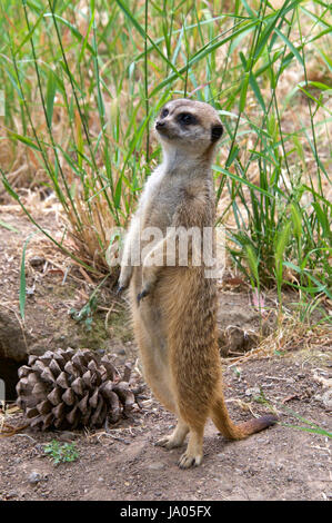 One meerkat standing on hind legs looking for predators, tall grass in the background one large pine cone by it's - Stock Photo