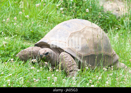 Aldabra Tortoise eating grass in a field. One of the largest breeds of tortoises in the world. - Stock Photo