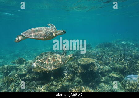 Two green sea turtles Chelonia mydas under the water swims over a coral reef, south Pacific ocean, New Caledonia, - Stock Photo