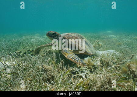 Under water green sea turtle, Chelonia mydas, on a grassy seabed, south Pacific ocean, lagoon of Grand-Terre island - Stock Photo