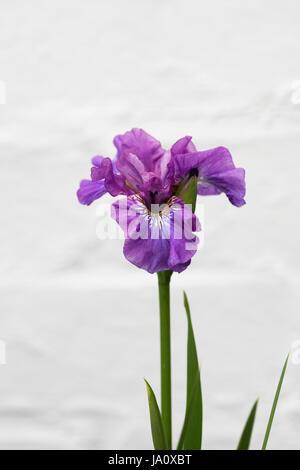 Iris sibirica 'Temper Tantrum' against a white wall. - Stock Photo