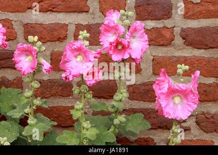 bucolic, garden, flower, plant, rose, bloom, blossom, flourish, flourishing, - Stock Photo
