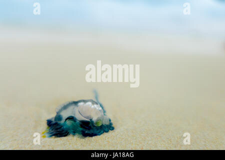 Jellyfish in the water on the sandy shore of Galapagos island - Stock Photo