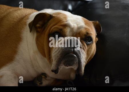 English bulldog - Stock Photo