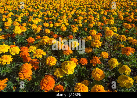 Colorful blooming yellow and orange tagetes flowerbed in sunshine with unfocused background - Stock Photo