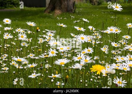Ox-Eye Daisy, Oxeye Daisy,  Magerwiesen-Margerite, Magerite, Wiesenmagerite (Leucanthemum vulgare), Alpine. - Stock Photo