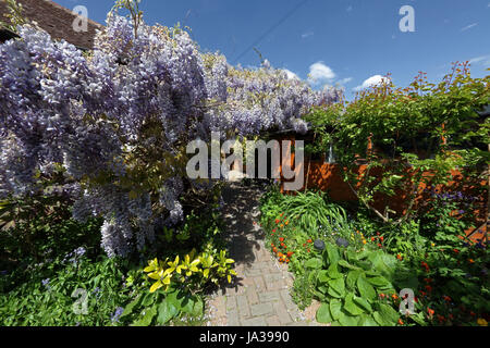 A huge Wisteria growing on a bungalow wall and reaching right across the back of the house in full bloom and looking - Stock Photo
