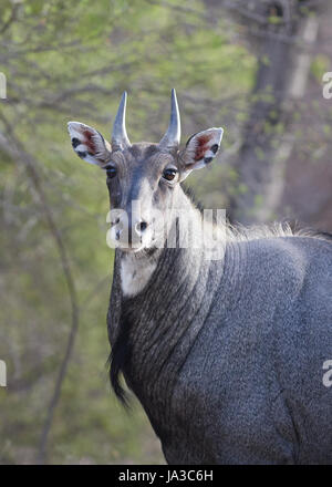 The nilgai or blue bull is the largest Asian antelope and is endemic to the Indian subcontinent. - Stock Photo