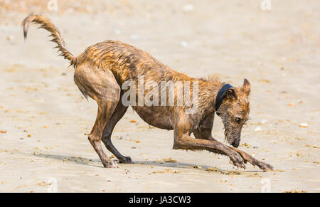 Scottish Deerhound Lurcher dog playing in sand on a beach. - Stock Photo