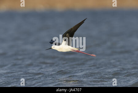 Black-winged Stilt - Himantopus himantopus - Stock Photo