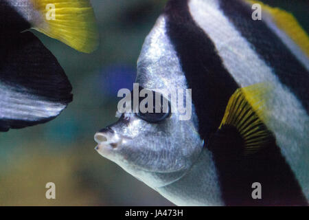 Longfin bannerfish Heniochus acuminatus swims over a coral reef - Stock Photo