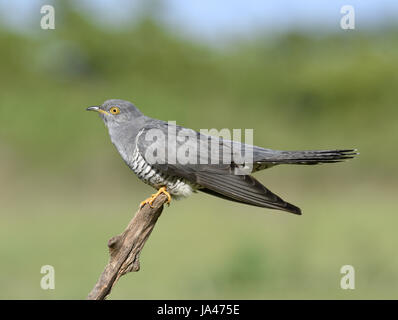 Cuckoo - Cuculus canorus - male - Stock Photo