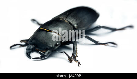 Young stag beetle (Lucanus cervus) isolated on white background - Stock Photo