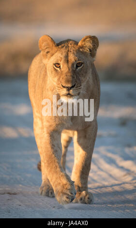 Young Lioness in the Savuti area of Botswana - Stock Photo