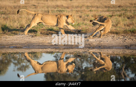 Lions in the Savuti area of Botswana playing near a natural water pan - Stock Photo