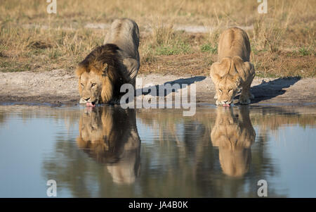 Male and female Lion drinking water from a natural pan in the Savuti area of Botswana - Stock Photo