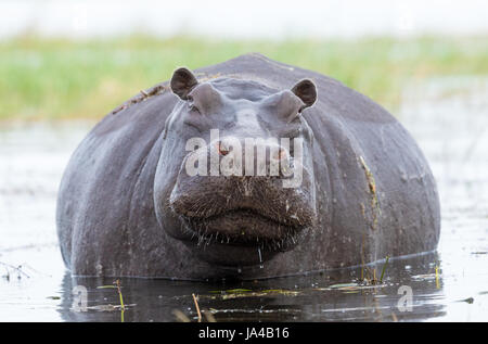 A large female Hippo in the Chobe River in Botswana - Stock Photo