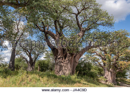 The subject of a famous painting by Thomas Baines in 1861, Baines Baobab's are now a popular tourist attraction. - Stock Photo