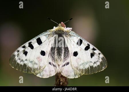 Apollo butterfly, Parnassius apollo - Stock Photo