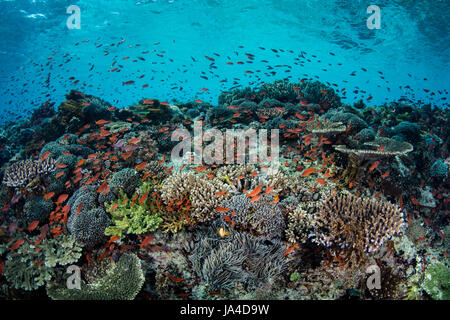 Colorful tropical reef fish, mainly Scalefin anthias, swim above a beautiful, current-swept coral reef near the - Stock Photo