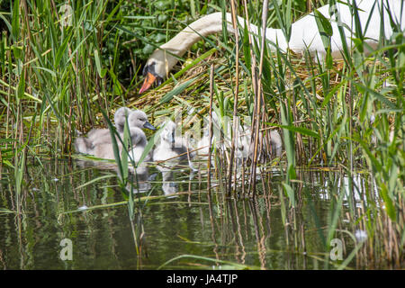 Mute Swan, Cygnus olor and signets - Stock Photo