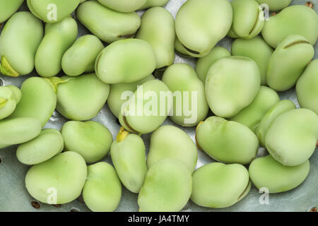 Close-up of a layer of freshly picked broad beans in a metal colander - Stock Photo