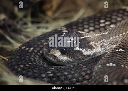 reptile, camouflage, viper, rattlesnake, lurking, wait, waiting, animal, - Stock Photo