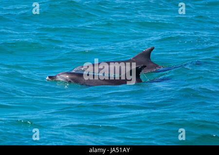 Dolphins in Nelson Bay, Australia. - Stock Photo