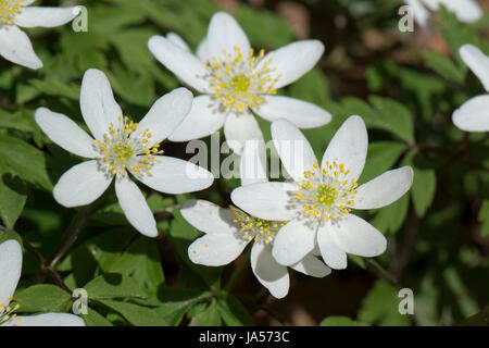 Early white wood anemone, Anemone nemorosa, spring woodland flower, pretty and open in the dappled light of afternoon - Stock Photo