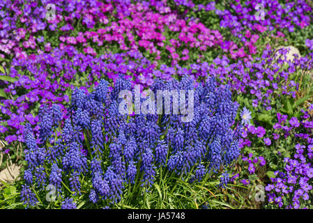 Aubretia, Aubrieta sp., and grape hyacinth, Muscari sp., blue, pink and red early spring flowers on a garden rockery, - Stock Photo