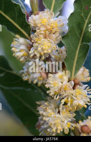 Bay laurel or sweet bay, Larurus nobilis, flowers and leaves of herb / spice shrub, Berkshire, April - Stock Photo