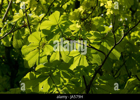 Spring sunlight shining through the young leaves of a horse chestnut or conker, Aesculus hippocastaneum, tree, Berkshire, - Stock Photo