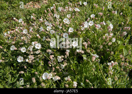 Sea campion, Silene uniflora, flowering plant on Chesil Beach, Dorset, May - Stock Photo