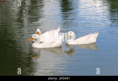June 4, 2017 - The Pekin or Peking, also White Pekin, is an American breed of domestic duck - Stock Photo