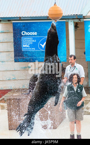 Californian Sea Lion jumping out of the water during Taronga zoo seal show, Sydney, Australia - Stock Photo