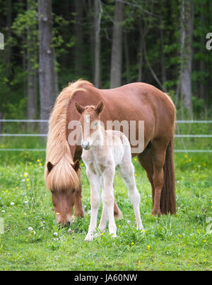 Icelandic horse mare and her newborn foal - Stock Photo