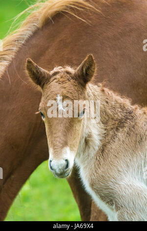 Icelandic horse foal with dam - Stock Photo