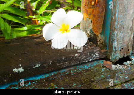 Contrast of delicate white frangipani flower on rough broken rotting window sill of abandoned remains of old abandoned - Stock Photo