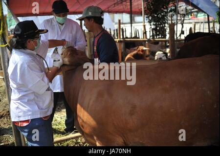 (170824) -- JAKARTA, Aug. 24, 2017 (Xinhua) -- Medical staff check the health conditions of cattle at a makeshift - Stock Photo