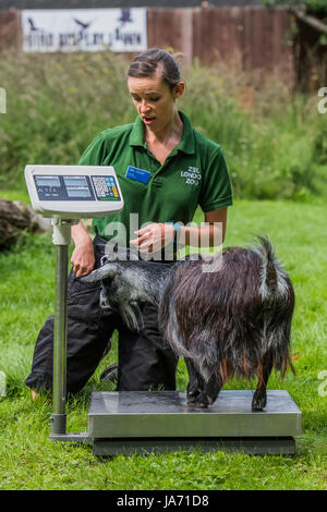 London, UK. 24th August, 2017. Pigmy goats on scales as a keeper seems surprised by the weight - The annual weigh - Stock Photo