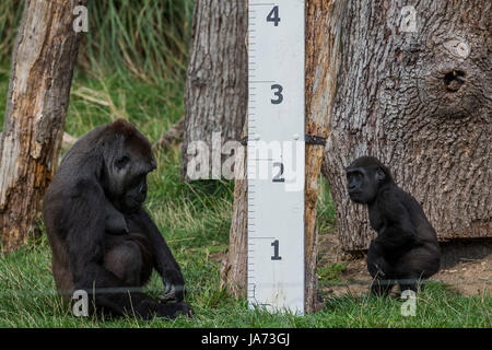 London, UK. 24th August, 2017. The annual weigh-in records animals' vital statistics at ZSL London Zoo. London, - Stock Photo