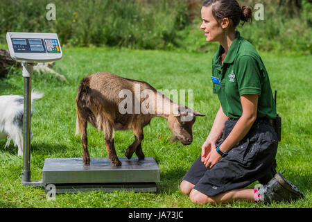 London, UK. 24th August, 2017. Pigmy goats on scales - The annual weigh-in records animals' vital statistics at - Stock Photo