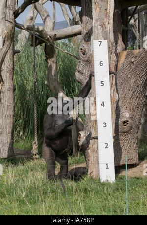 (170824) -- LONDON, Aug. 24, 2017 (Xinhua) -- A gorilla is measured at ZSL London Zoo's 2017 annual weigh-in event - Stock Photo